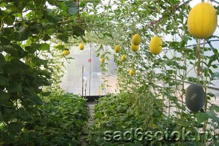 Арбуз в теплице из поликарбоната: как выращивать вместе с дыней? условия посадки и ухода за бахчевой культурой
