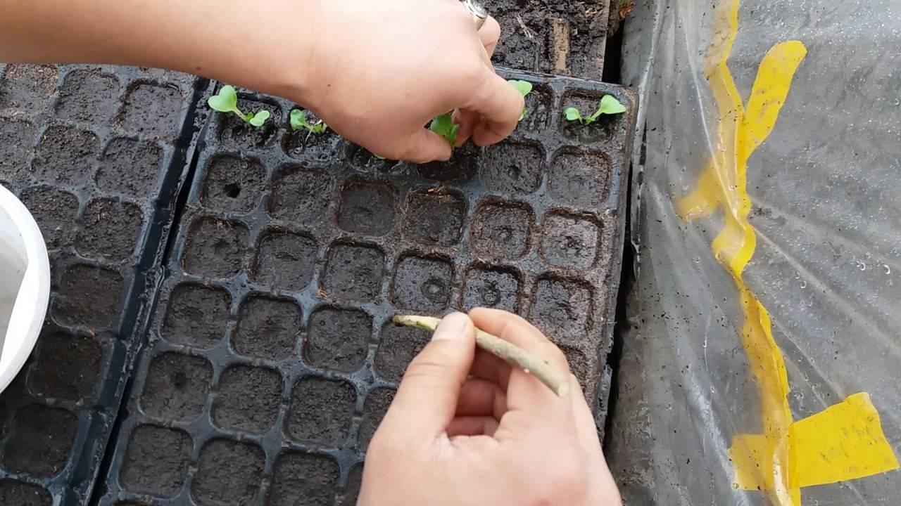 Можно ли пикировать рассаду капусты