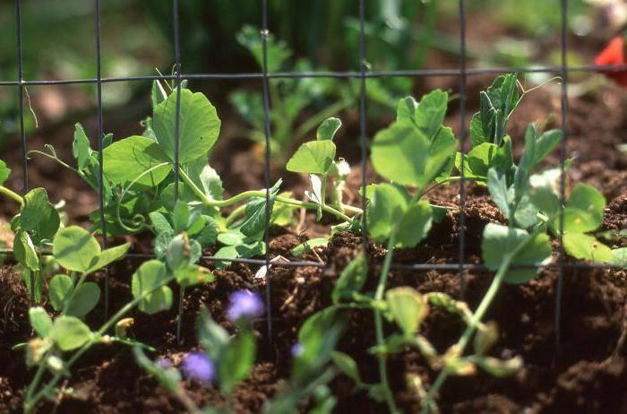 Как выращивать горох в открытом грунте: советы и рекомендации