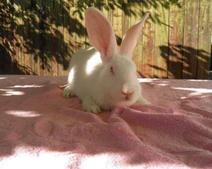 Бройлерные кролики породы белый паннон – быстрый рост и высокая плодовитость