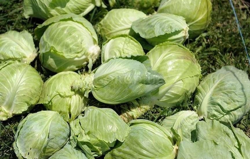 Как выбрать и правильно выращивать сорта поздней капусты: описание с фото