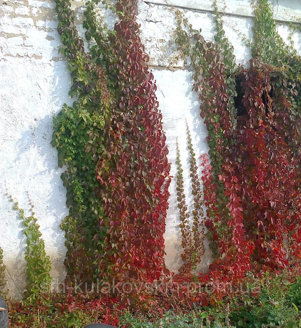 Виноград вичи: размножение черенками, характеристики, борьба с вредителями, описание и фото