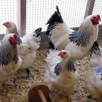 Разведение кур несушек на яйца как бизнес