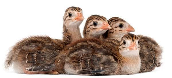 Правила инкубации цесариных яиц