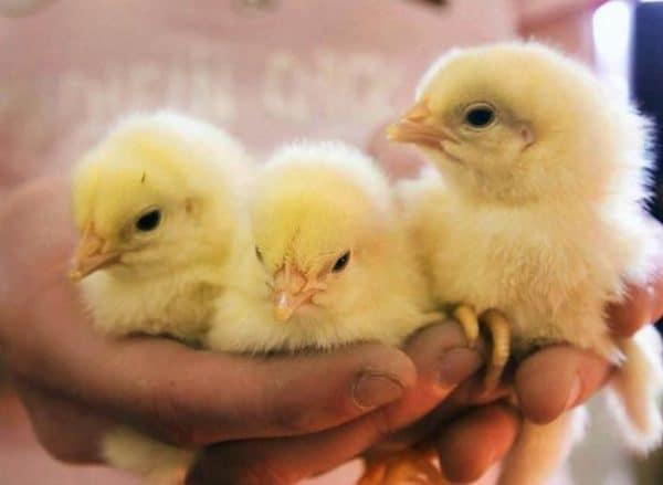 Левомицетин для цыплят