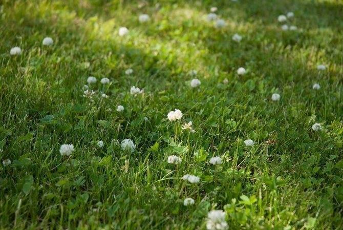Белый клевер для газона: отзывы садоводов, фото, посев и выращивание