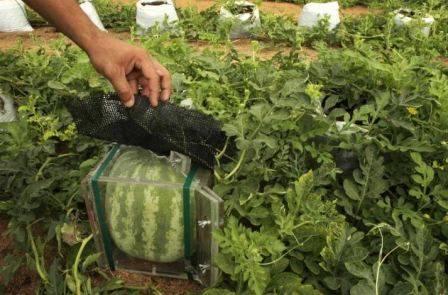 Выращивание арбузов в забайкалье