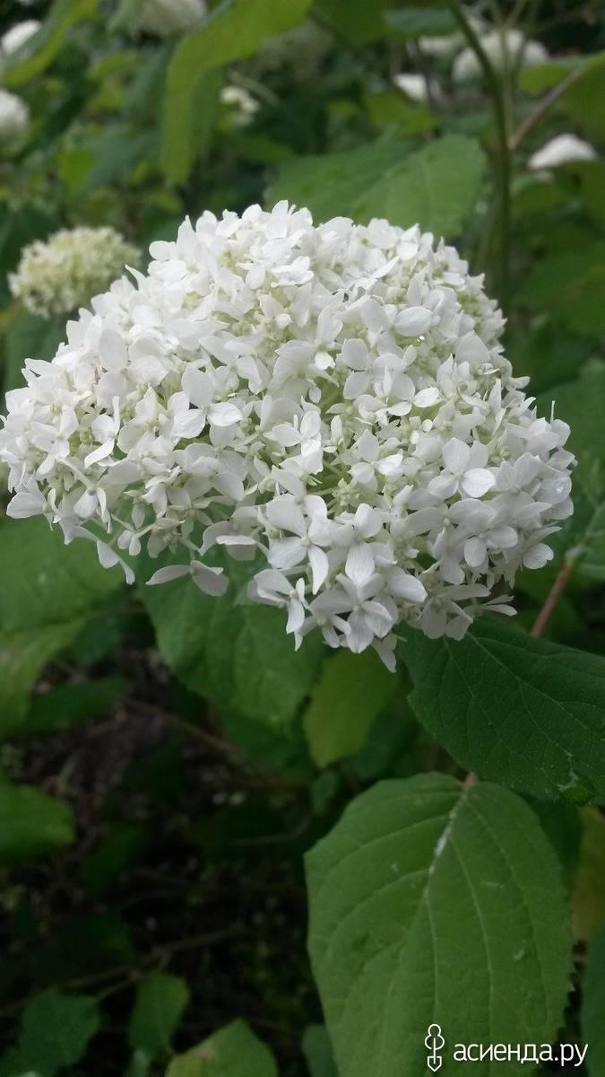 Как защитить садовую гортензию от болезней и вредителей?