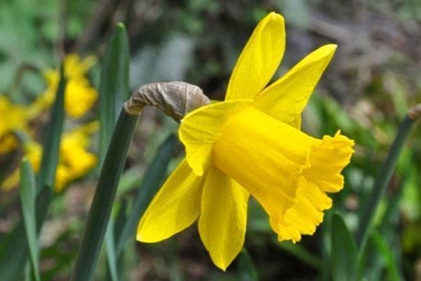 Нарциссы – правила посадки и ухода