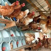 Куры в домашних условиях — советы по разведению для начинающих. 85 фото и видео примеров организации куриных ферм