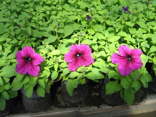 Петуния, посев семян на рассаду - хитрости, как правильно вырастить и ухаживать?