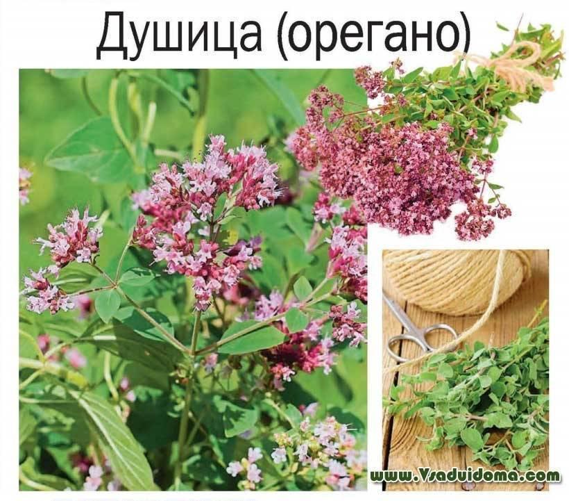 Какой сад без душицы? 13 веских причин посадить орегано на своем участке
