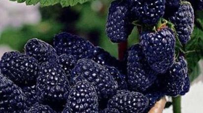 Черная малина – особенности выращивания и ухода