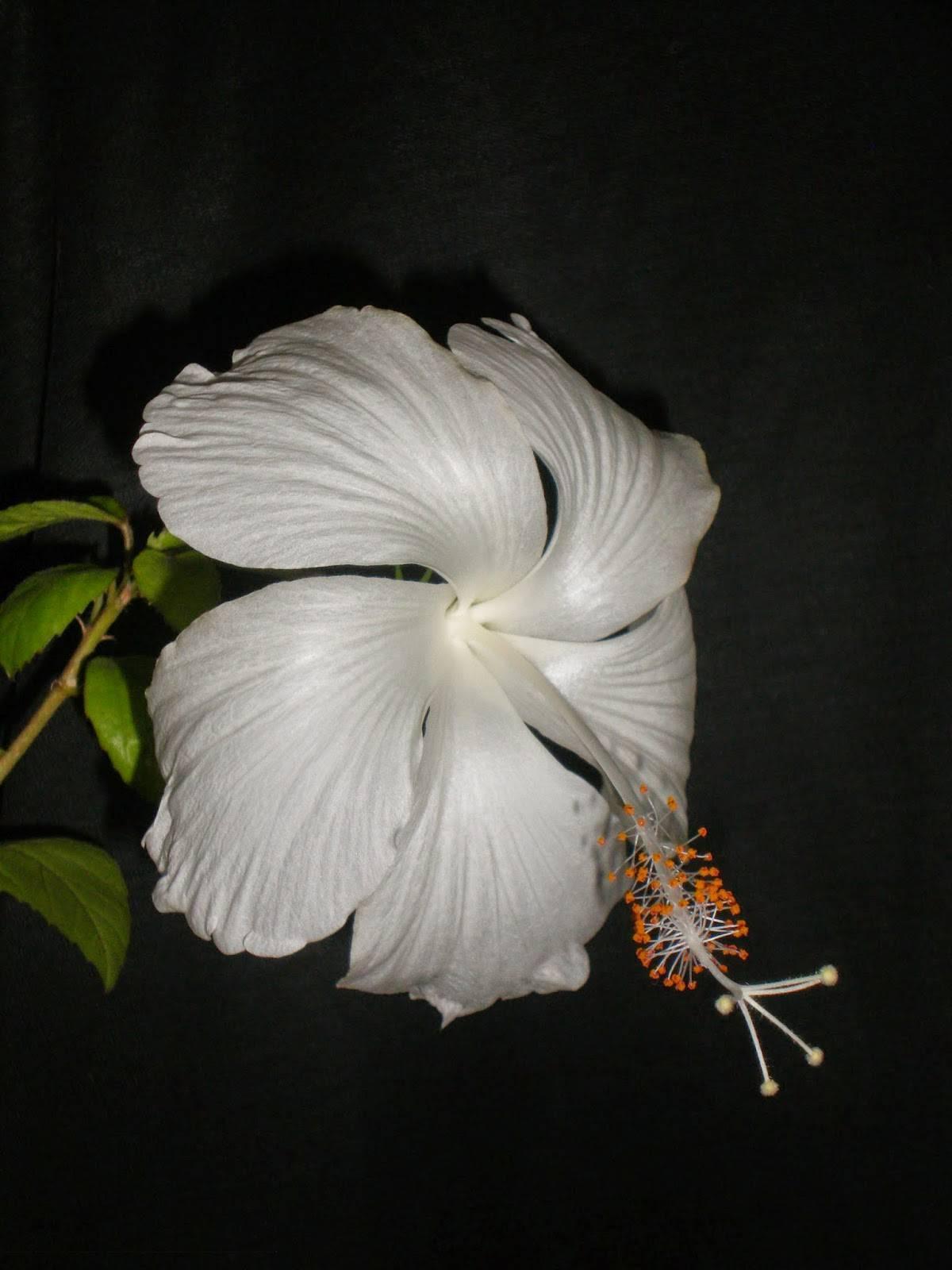 Гибискус перестал цвести: причины отсутствия цветов, что предпринять