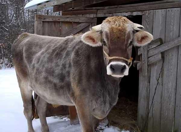 сколько месяцев корова ходит беременной