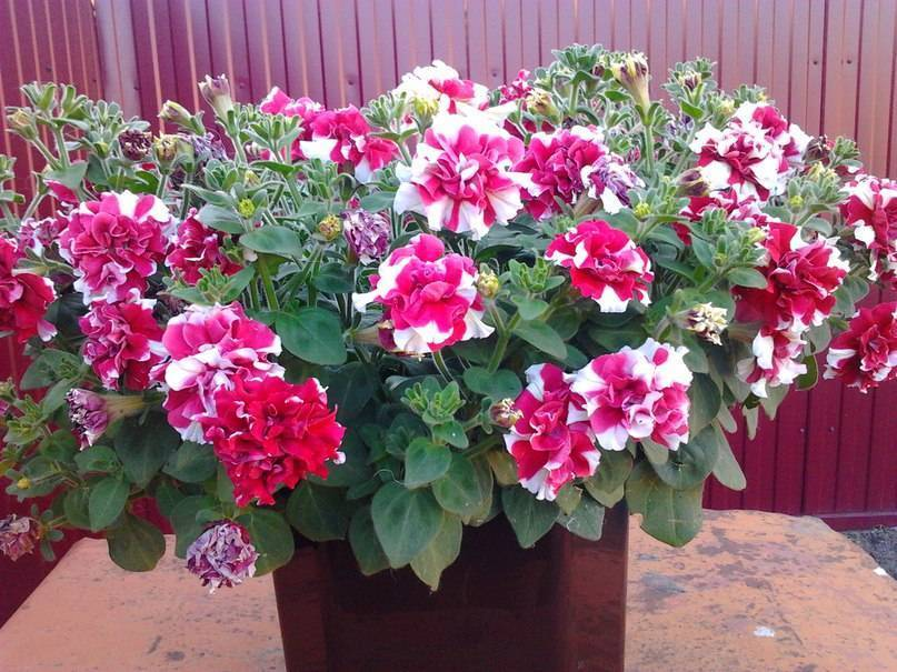 Особенности выращивания петунии. описание растения с фото и характеристики похожих цветков