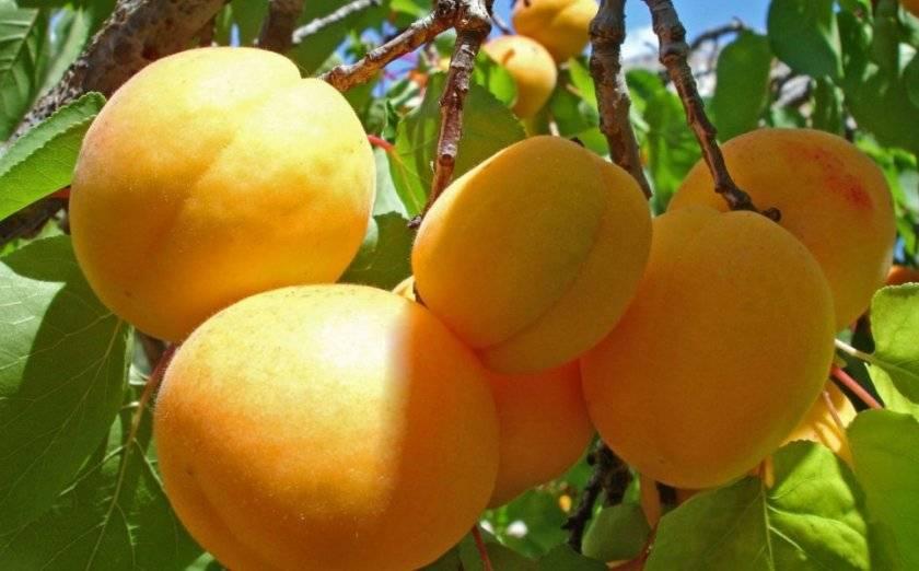 Как сажать абрикос и правильно за ним ухаживать?