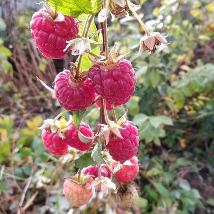 О малине Рубиновое ожерелье ремонтантной: описание сорта, особенности по уходу