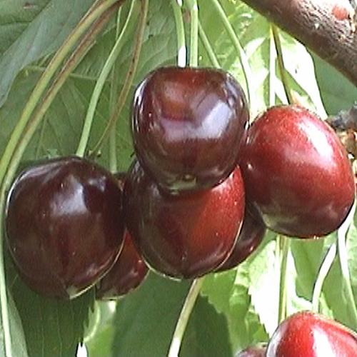 Особенности сорта черешни свитхарт