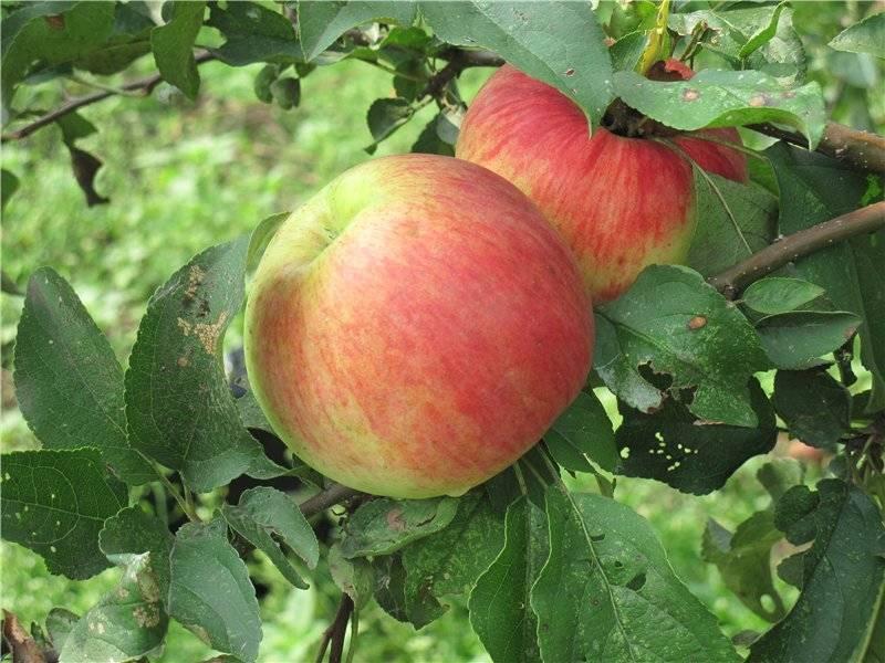 Яблоня бельфлёр-китайка: описание сорта и фото, выращивание и борьба с болезнями