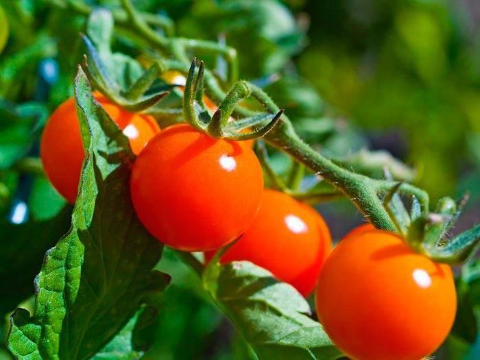 Уникальный сорт томата «черная гроздь» для любителей экзотики: описание, характеристика, посев на рассаду, подкормка, урожайность, фото, видео и самые распространенные болезни томатов