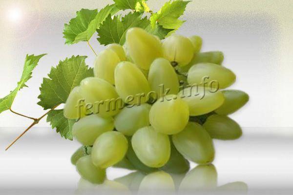 Сорт винограда бажена