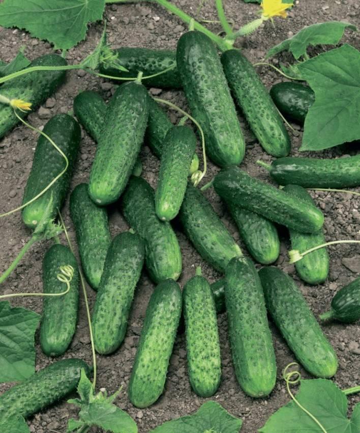 Обработка огурцов зеленкой и йодом: 100 фото и видео описание обработки земли