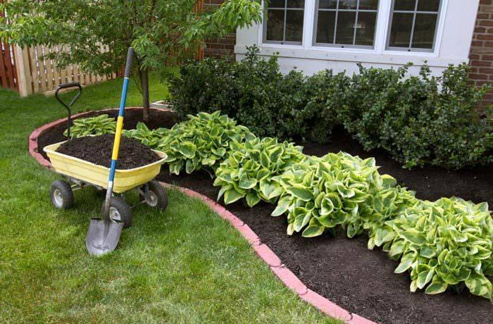 Хоста: когда и как правильно посадить осенью в открытый грунт