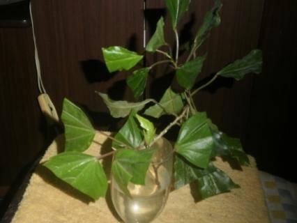 Размножение китайской розы в домашних условиях и уход: фото комнатного цветка, как посадить семена, какой взять отросток и укоренить черенок в воде или в грунте?