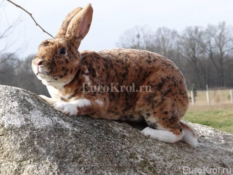 Кролик карликовый: содержание и уход в домашних условиях
