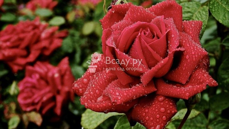 Как выращивать розы на даче и как за ней ухаживать? видео