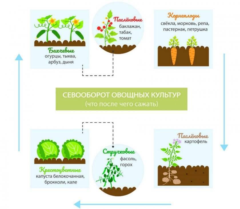 После чего правильно сажать капусту: лучшие соседи на огороде
