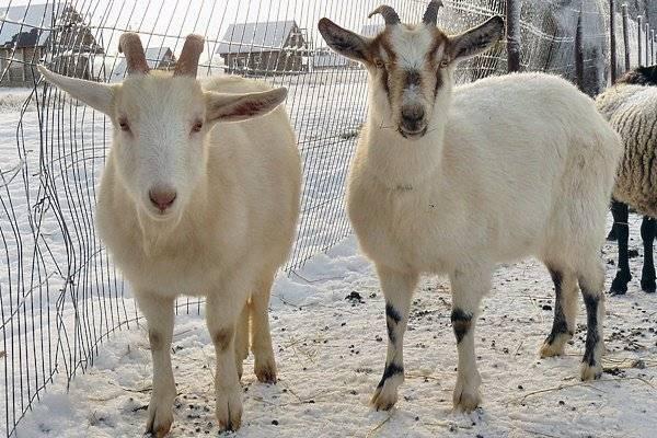 Разведение коз