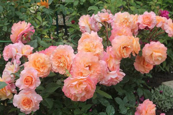 Описание и характеристики розы августа луиза (аugusta luise)