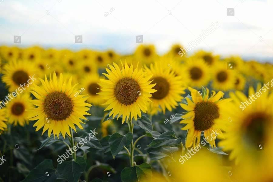 Все о цветении подсолнечника: когда начинает цвести, длительность