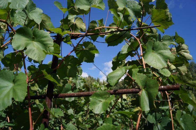 Нужно ли обрывать усы у винограда