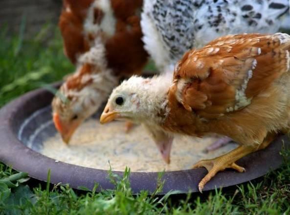 Выращивание бройлеров в домашних условиях: отличия технологии  и сложности содержания в клетках, породы, кормление, уход за цыплятами и разведение кур