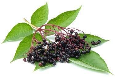 Цветки черной бузины — применяем как лекарство от многих болезней
