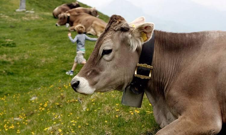 Описание швицкой породы коров