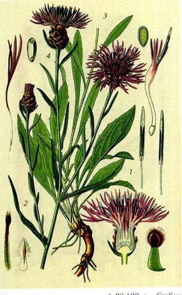Луговой и синий василек: полезные свойства растений и их применение в медицине. василек луговой
