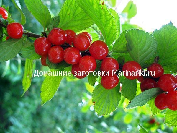 Вишня дерево — 140 фото дерева, плодов и рекомендации по посадке и выращиванию вишни