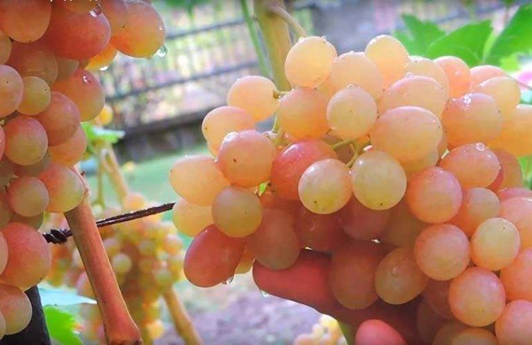 Выращивание и уход за виноградной лозой тасон