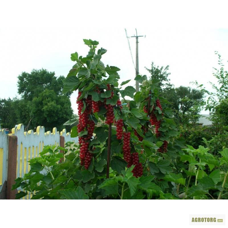 Красная смородина натали