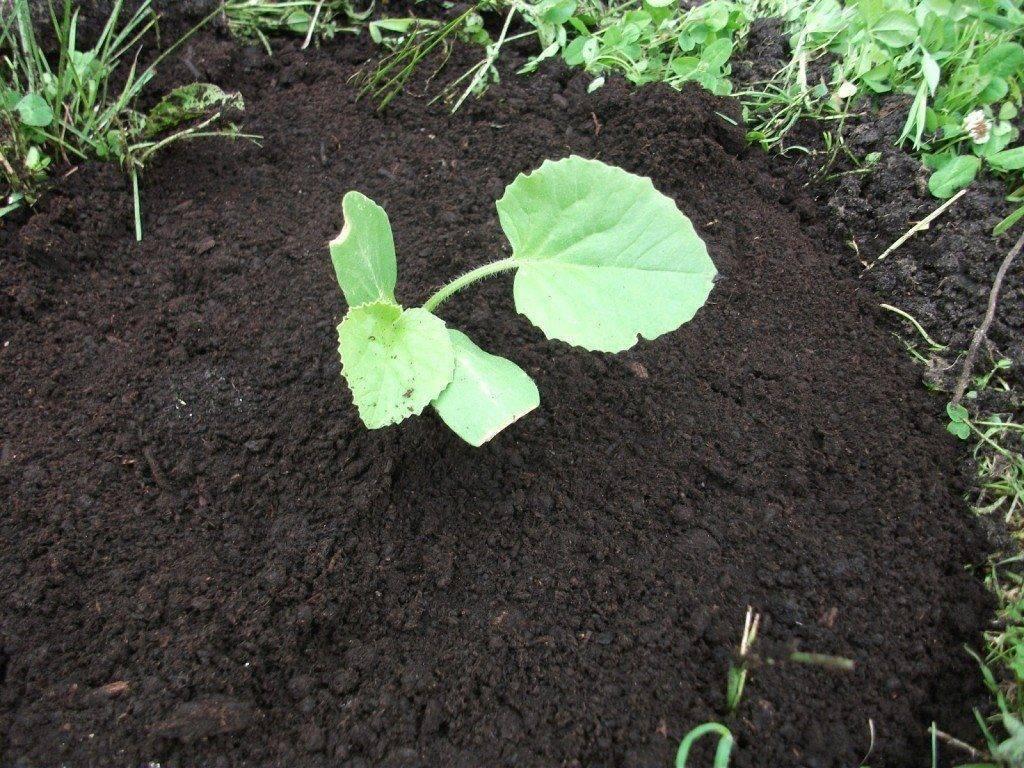 Как посадить тыкву в открытый грунт? простой, но очень эффективный метод для получения урожая