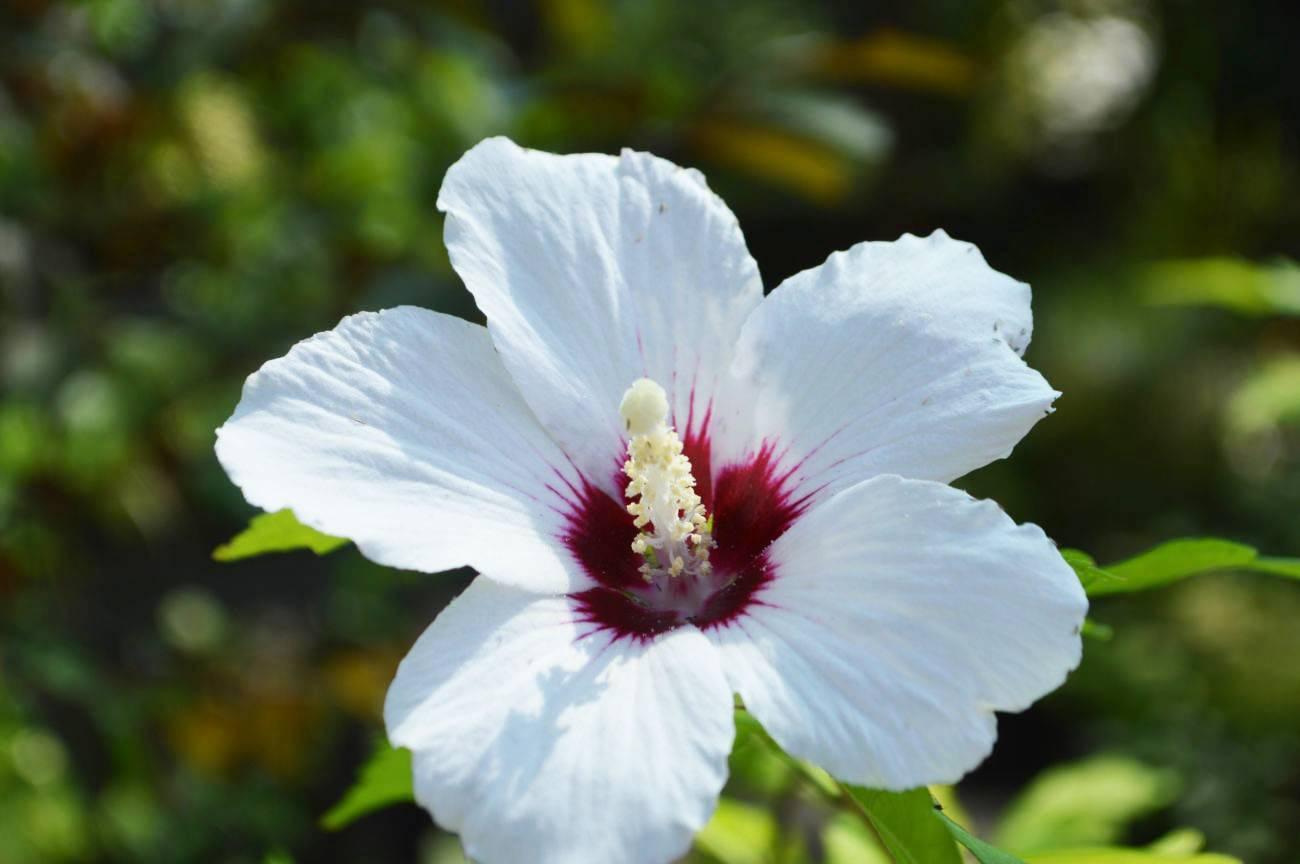 Уход за гибискусом садовым: как и когда поливать древовидный кустарник, подкормка, прищипка и размножение цветка, особенности травянистых гибридов, фото