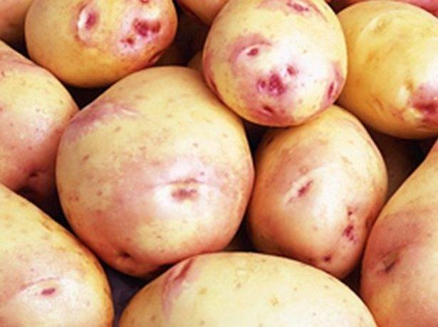 Сорт картофеля «эволюшн (evolution)» – описание и фото