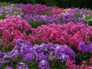 Уход за неприхотливыми многолетниками для клумбы, цветущими все лето