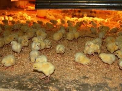 Чем кормить цыплят с первых дней жизни?