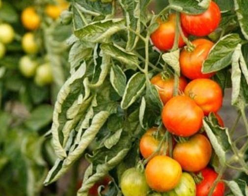 Чем подкормить рассаду помидоров так, чтобы она была мощной