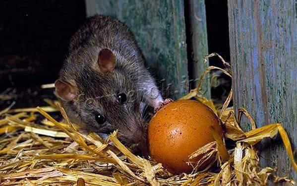 Как избавиться от крыс в курятнике: работающие способы